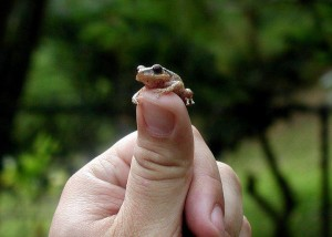 The coqui, Puerto Rico's iconic tree frog, makes the most peaceful sounds imaginable.